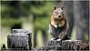 """""""Golden Mantel Ground Squirrel"""" by JerryWB"""