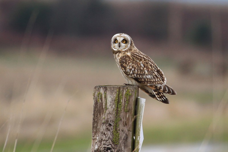 Owl from Stanwood