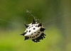Spiny Orbweaver by Suci