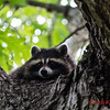 Racoon by Kot