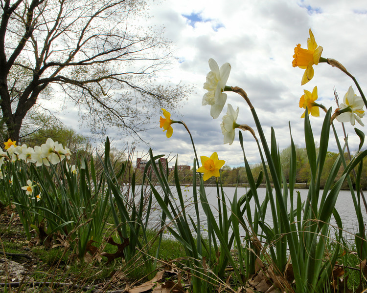 APRIL 2011 <br /> <br /> Taken along the Charles River in Allston, MA.<br /> <br /> I was lying on my stomach to get these daffodils to look as tall as skyscrapers.  I chose this scene because there were signs of early Spring everywhere. The threatening rain clouds with just a peek of blue... the brown leaves left over from Fall... and finally, the tree that hasn't quite grown back it's green coat.  Happy Spring everyone!