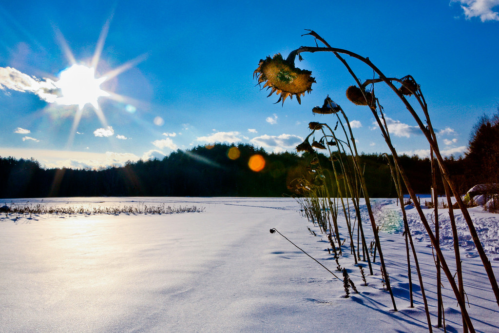 JANUARY 2011 <br /> <br /> <br /> While snowshoeing in Lincoln, MA I was instantly drawn to this row of sunflowers.  While they were surrounded by snow, I thought it could be a perfect image to start 2011.  It took a while to get the right angle (I lost a snowshoe and fell in the snow that was waist high) but totally worth it as I love the sense of hope in this photo. The sun and the sunflower (however wilted) remind me that Spring really isn't that far away!