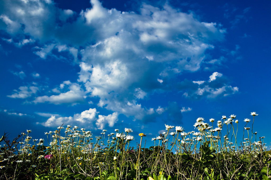 JUNE 2012 <br /> <br /> I found a place on the MA map that I had never been; Horseneck beach. I wanted to find an image that emanated that special summer feelin'.  I walked through trails along the ocean and I became fascinated by all the flowers. I love how the pedals reach up to the equally white clouds.  Ah, summer...