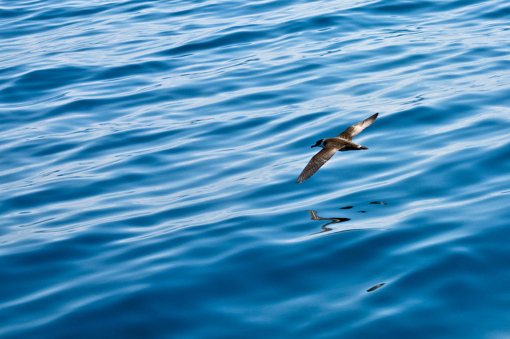 AUGUST 2012<br /> <br /> During a whale watch, I turned my camera to a less impressive but no less beautiful creature... This sea bird's flight toward an unknown horizon intrigued me.<br /> <br /> As one season comes to an end and a new unknown beginning becomes inevitable, this image felt right as the Fall horizon approaches.