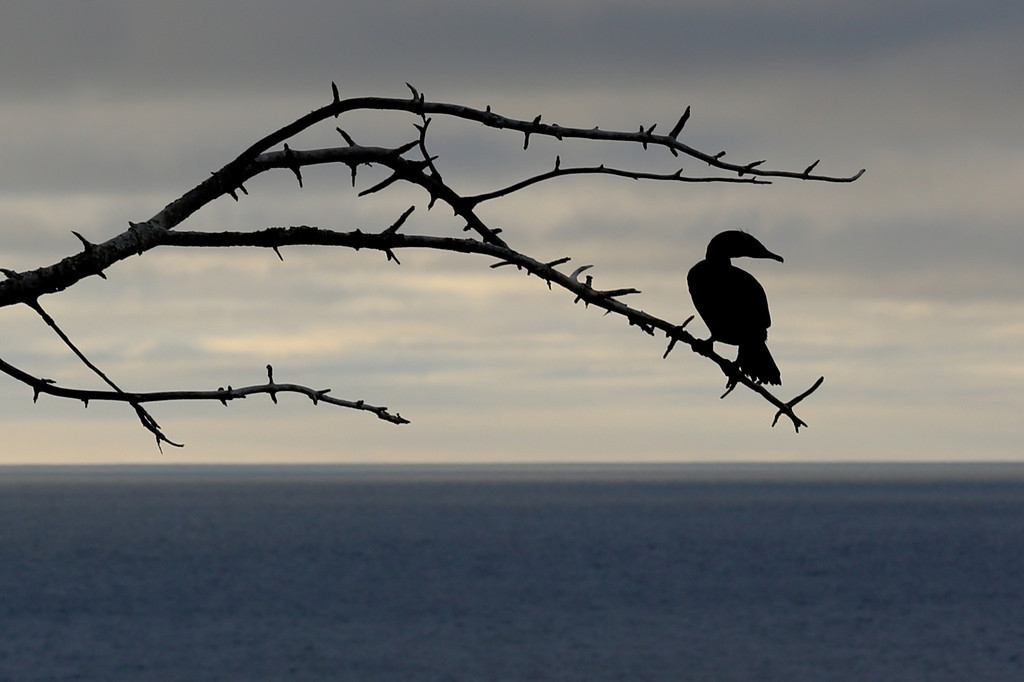 MARCH 2013<br /> <br /> San Diego, CA<br /> <br /> While walking on a trail along the West Coast, I spotted this tree. I was mesmerized by it's silhouette as various birds used it as a perch. Thankfully, this cormorant stayed long enough for me to frame the shot. I love how it almost seems to be watching the sun setting over the Pacific...