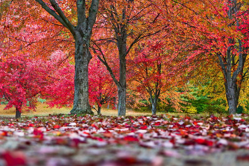OCTOBER 2013<br /> <br /> Hollis, NH <br /> <br /> It's no secret Fall is my favorite time of year. Capturing the true beauty of foliage can be challenging.  In this case, I loved the red carpet of leaves.  I placed my camera on the ground to draw the viewer's eyes to the bright colors from the ground to the tree tops.