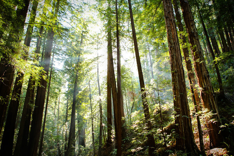 NOVEMBER 2013<br /> <br /> Muir Woods National Monument<br /> Mill Valley, CA<br /> <br /> While shooting in California, I had the opportunity to visit Muir Wood park with some dear friends.  I was amazed at two aspects of this forest,  the scale (of course) and maybe more notable to me as a photographer, the light.  The redwoods create a dust of sorts and the fibers in the air create beams of light.  It was the beams of light so determined to shine through these giants that made this place so magical to me.