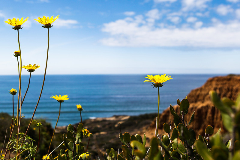 APRIL 2013 <br /> <br /> Torrey Pines Natural Reserve (San Diego, CA)<br /> <br /> While hiking, I was endlessly fascinated with these yellow flowers. I loved how the flowers were so close to the ocean and then learned they are called Sea Dahlia (Coreopsis Martitma).  This frame struck me as having all the elements of that beautiful spring day: white cotton clouds, Pacific blue and blue sky meeting, golden rock,  desert-like plants and the amazing yellow of the Sea Dahlias.
