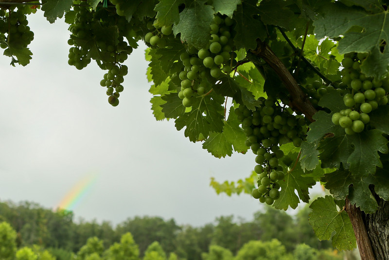 JULY 2013<br /> <br /> Afton, VA<br /> <br /> While visiting family in Virginia, we went to one of my favorite wineries, Veritas.  This summer night was complete with a rain storm.  I quickly ran to the field and found a frame with grapevines and a hint of the disappearing rainbow. It was a perfect Summer night if you ask me...