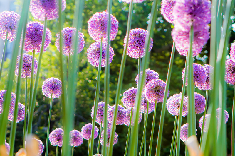 MAY 2016 <br /> <br /> Boston, MA<br /> (Boston Public Gardens)<br /> <br /> I decided to walk through Boston Common after a corporate shoot.  It was hard to miss these Allium Gladiators because they were nearly my height.  The setting sun threw a magical glow over the already impressive flowers. I was so grateful my camera was with me. Happy Spring!