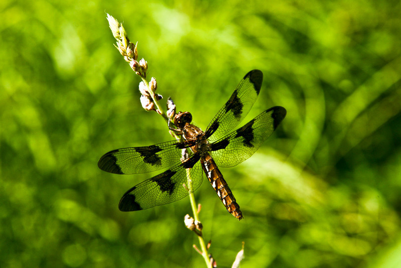 JULY- 2010<br /> <br /> Framingham, MA<br /> <br /> While visiting the Garden in the Woods, I found this gorgeous dragonfly.  It's transparent wings caught my eye and I took several shots before it moved on...