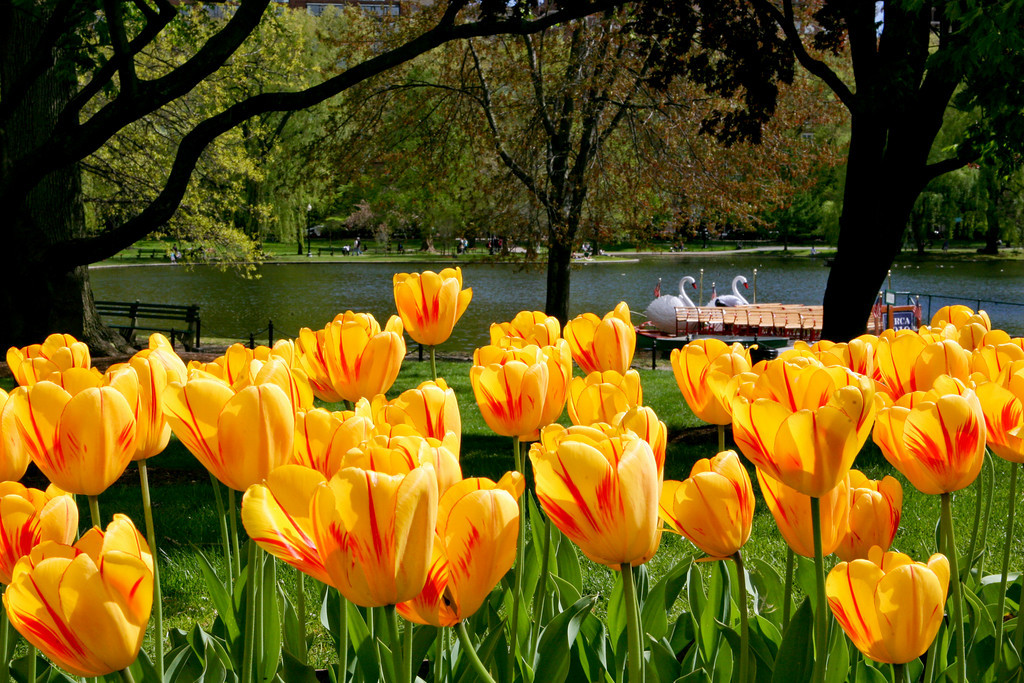 APRIL - 2010<br /> <br /> Boston, MA<br /> <br /> CLICK ON PHOTO TO ENLARGE<br /> <br /> Spring is here!  I found these tulips in the Public Garden in the Boston Common.  The swan boats in the background have been an attraction for over 130 years!