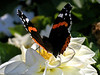 "Butterfly on Flower by <a href=""http://www.photographycorner.com/forum/member.php?u=7588"">Erik Bernskiold</a>"