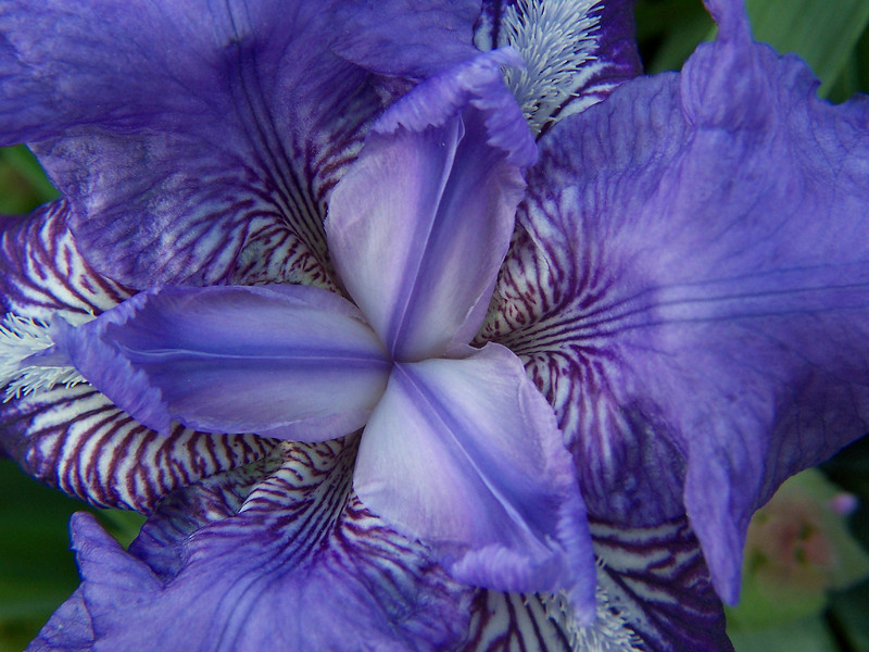 "Purple Iris by <a href=""http://www.photographycorner.com/forum/member.php?u=1635"">sweetrosie_99</a>"