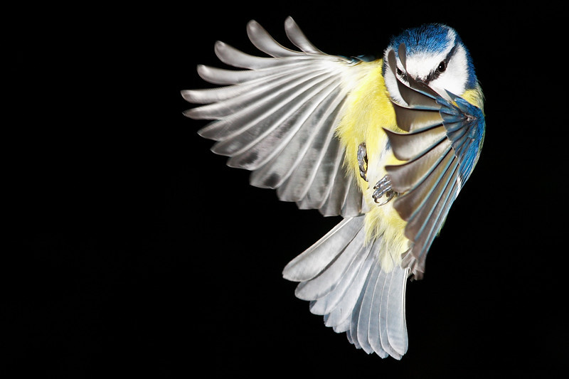 "Round 1, Group XIV Winner Blue Tit in Flight by <a href=""http://www.photographycorner.com/forum/member.php?u=9011"">mattblucas</a>"