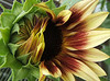 "Sunflower in Motion by <a href=""http://www.photographycorner.com/forum/member.php?u=6265"">Andy2302</a>"