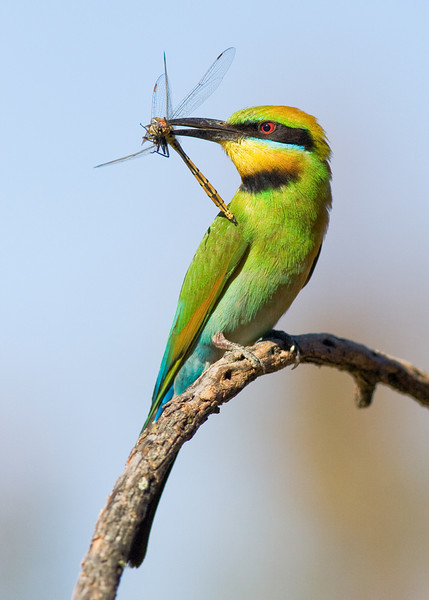 """Round 1, Group I Winner Rainbow Bee Eater with Dragonfly by <a href=""""http://www.photographycorner.com/forum/member.php?u=11342"""">wayne_eddy</a>"""