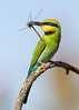 "Round 1, Group I Winner Rainbow Bee Eater with Dragonfly by <a href=""http://www.photographycorner.com/forum/member.php?u=11342"">wayne_eddy</a>"