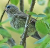 "Tusked, Beakless Finch by <a href=""http://www.photographycorner.com/forum/member.php?u=9347"">Glenoran</a>"