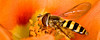 "Hoverfly in Orange by <a href=""http://www.photographycorner.com/forum/member.php?u=10811"">RogersDA</a>"