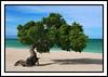 "Divi Divi Tree by <a href=""http://www.photographycorner.com/forum/member.php?u=48"">sinha_punit</a>"