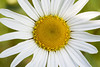 "Daisy by <a href=""http://www.photographycorner.com/forum/member.php?u=8247"">guy</a>"