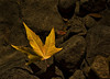 "Yellow Leaf in Water by <a href=""http://www.photographycorner.com/forum/member.php?u=13866"">fatcatphotos</a>   Check out the <a href=""http://www.photographycorner.com/forum/showthread.php?t=81074"">final voting results for Round 1, Group H</a> of the <a href=""http://www.photographycorner.com/2008-photograph-of-the-year"">2008 Photograph of the Year Contest</a> to find out where this photograph placed.  Also make sure to check out the <b><a href=""http://photographycorner.smugmug.com/gallery/7169189_ALAW4"">top 20 finalists</a></b> from the <a href=""http://www.photographycorner.com/2008-photograph-of-the-year"">PhotographyCorner.com 2008 Photograph of the Year</a> contest!"