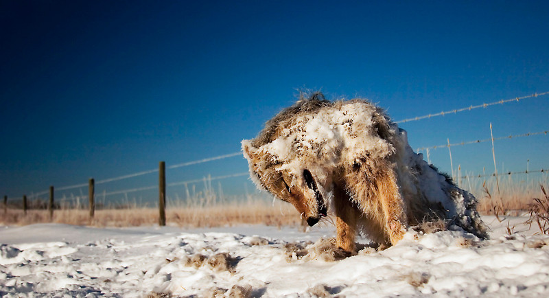 """Frozen Winter Casualty (Coyote - Graphic) by <a href=""""http://www.photographycorner.com/forum/member.php?u=4337"""">Gems</a>   Check out the <a href=""""http://www.photographycorner.com/forum/showthread.php?t=81068"""">final voting results for Round 1, Group B</a> of the <a href=""""http://www.photographycorner.com/2008-photograph-of-the-year"""">2008 Photograph of the Year Contest</a> to find out where this photograph placed.  Also make sure to check out the <b><a href=""""http://photographycorner.smugmug.com/gallery/7169189_ALAW4"""">top 20 finalists</a></b> from the <a href=""""http://www.photographycorner.com/2008-photograph-of-the-year"""">PhotographyCorner.com 2008 Photograph of the Year</a> contest!"""