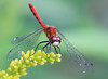 "White-Faced Meadowhawk by <a href=""http://www.photographycorner.com/forum/member.php?u=3277"">Tyger</a>"