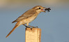 "Isabelline Shrike by <a href=""http://www.photographycorner.com/forum/member.php?u=15836"">rahil</a>"