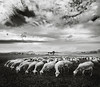 "Sheep and Meadows by <a href=""http://www.photographycorner.com/forum/member.php?u=5046"">eRICK</a>"