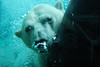 "Peeking Polar Bear, Cochrane, ON by <a href=""http://www.photographycorner.com/forum/member.php?u=14148"">lucycorne</a>"