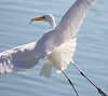 "Great Egret Fishing by <a href=""http://www.photographycorner.com/forum/member.php?u=14667"">speedinjen</a>"