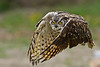 "Great Horned Owl - Incoming by Vince Maidens  <a href=""http://www.photographycorner.com/forum/showthread.php?t=96303"">See the Round 1 Voting Results here</a>  <a href=""http://www.photographycorner.com/forum/showpost.php?p=675038"">ROUND 1, GROUP B FINALIST</a>"