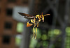 "Wasp by asahiclaw  <a href=""http://www.photographycorner.com/forum/showthread.php?t=96310"">See the Round 1 Voting Results here</a>  <a href=""http://www.photographycorner.com/forum/showpost.php?p=675050"">ROUND 1, GROUP I FINALIST</a>"
