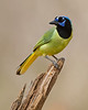 "Green Jay   <font size=""+1""><a href=""http://www.photographycorner.com/forum/showthread.php?t=102805"">See the voting results HERE!</a></font>"