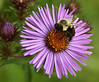 "New England Aster w/ Bumblebee   <font size=""+1""><a href=""http://www.photographycorner.com/forum/showthread.php?t=102805"">See the voting results HERE!</a></font>"
