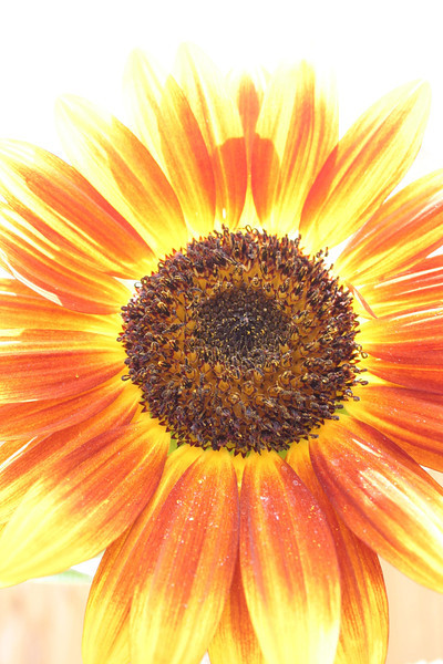 """Sunflower   <font size=""""+1""""><a href=""""http://www.photographycorner.com/forum/showthread.php?t=102806"""">See the voting results HERE!</a></font>"""