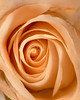"Anniversary Rose   <font size=""+1""><a href=""http://www.photographycorner.com/forum/showthread.php?t=102806"">See the voting results HERE!</a></font>"