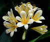"""Seymour Conservatory Clivia   <font size=""""+1""""><a href=""""http://www.photographycorner.com/forum/showthread.php?t=102807"""">See the voting results HERE!</a></font>"""