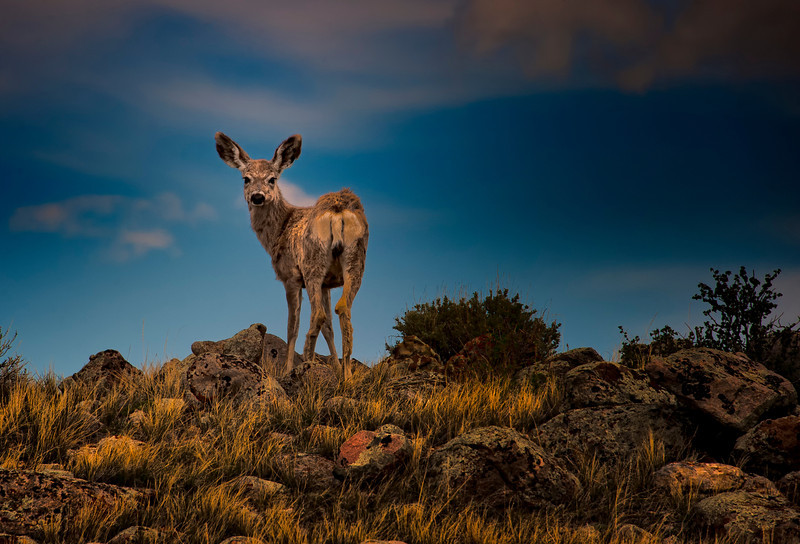 """Mule Deer in Wyoming   <font size=""""+1""""><a href=""""http://www.photographycorner.com/forum/showthread.php?t=102812"""">See the voting results HERE!</a></font>"""