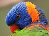 "Rainbow Lorikeet   <font size=""+1"">Round 1, Group J Finalist! - <a href=""http://www.photographycorner.com/forum/showthread.php?t=102814"">See the voting results HERE!</a></font>"