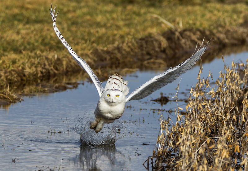"Snowy Owl - Catch But No Release   <font size=""+2""><a href=""http://www.photographycorner.com/forum/showpost.php?p=760122&postcount=18"">FINALIST in Round 1, Group D of the 2012 Photograph of the Year contest.</a></font>     <font size=""+1""><a href=""http://www.photographycorner.com/forum/showthread.php?t=108087"">See the Round 1, Group D voting results here!</a>"
