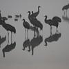 Cranes at Dawn