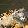 Iguana's Profile