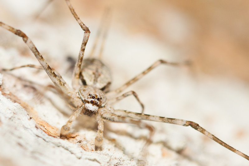 Common Two-tailed Spider