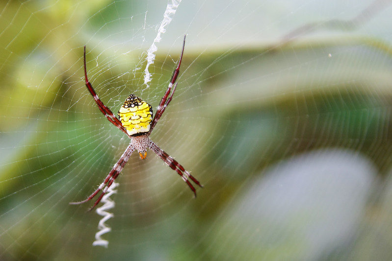 St. Andrews Cross Spider