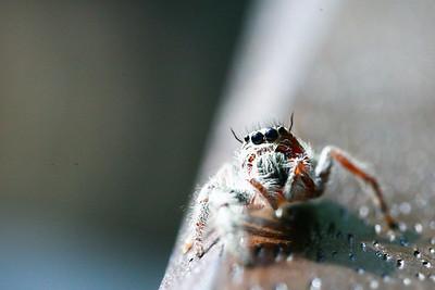 Heavy Jumper spider