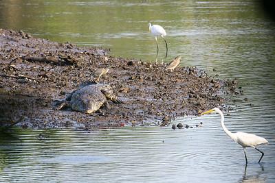 Estuarine crocodile