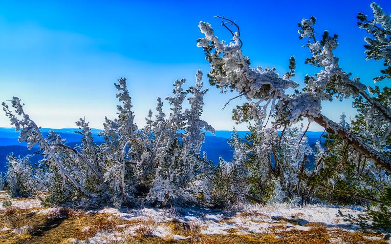 Frozen trees on Mt. Ralston
